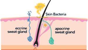 アポクリン汗腺とエクリン汗腺の違いとは?多く分布する場所はどこ? 1